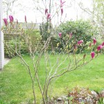 Tulipan træet med flotte lyserøde knopper