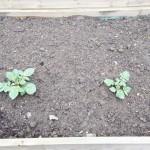 Kartolfer forspiret i drivhus og plantet ud