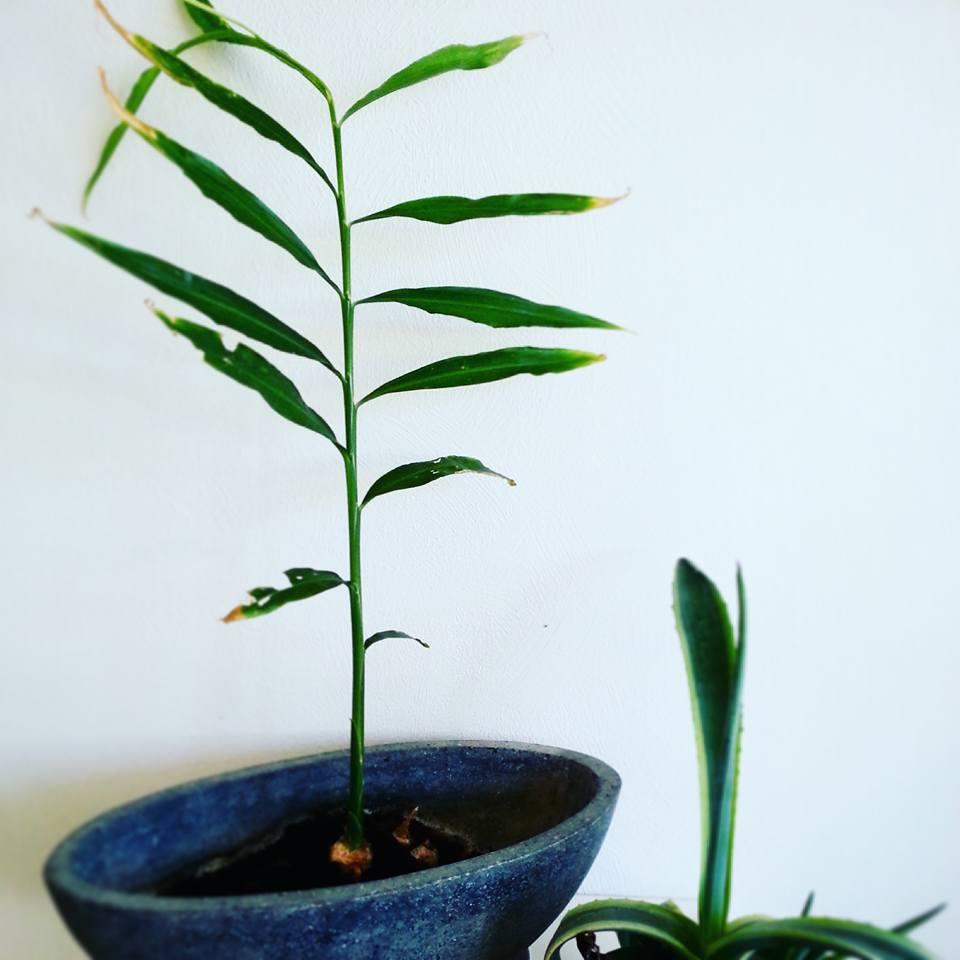 plante ingefær